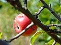 Praha, Cholupice, zrající jablíčko.jpg