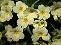 Primroses, Bickleigh - geograph.org.uk - 1242050.jpg