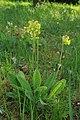Primula veris in natural monument Branžovy in 2012 (3).JPG