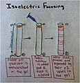 Process of Isoelectric Focusing.jpg