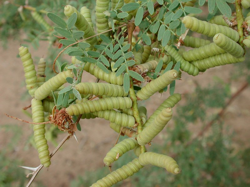 Prosopis pubescens beans