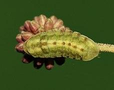 Prosotas nora ardates – Common Lineblue larva (1).jpg