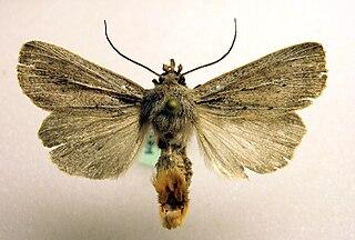 <i>Protarchanara brevilinea</i> Species of moth