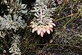 Protea pendula tonyrebelo inat10874494a.jpg