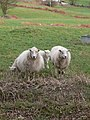 Protective mothers - geograph.org.uk - 710621.jpg