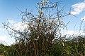 Prunus spinosa-Prunellier-Buisson-20190318.jpg