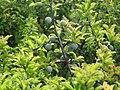 Prunus spinosa 3 - trnjina.jpg