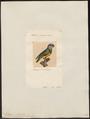 Psittacus senegalus - 1700-1880 - Print - Iconographia Zoologica - Special Collections University of Amsterdam - UBA01 IZ18600069.tif