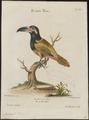 Pteroglossus piperivorus - 1700-1880 - Print - Iconographia Zoologica - Special Collections University of Amsterdam - UBA01 IZ19300248.tif