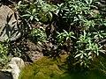 Puff-throated Babbler - Pellorneum ruficeps - P1040309.jpg