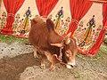 Punganur cattle-7-praba pet-salem-India.jpg