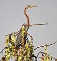 Purple Heron (Ardea purpurea) on Butea monosperma (Dhak) canopy W IMG 7563.jpg