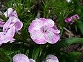 Purpleflower8.jpg