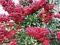 Pyracantha Berries - geograph.org.uk - 307422.jpg
