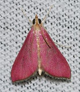 <i>Pyrausta inornatalis</i> species of insect