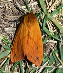 Pyrrharctia isabella – Isabella Tiger Moth (of Woolly Bear caterpillar fame) (14843427964).jpg