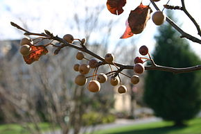 Description de l'image  Image:Pyrus calleryana fruit in autumn.JPG .