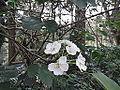 Pyrus communis-flower-yercaud-salem-India.JPG
