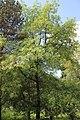 Quercus pyrenaica BotGardBln 20170610 H.jpg