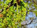 Quercus robur Bobrovnya4.JPG