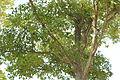 Quercus serrata (22260338402).jpg