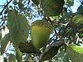 Quercus suber 11.JPG