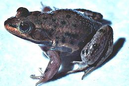 Lithobates virgatipes