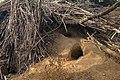 Rabbit den hole in Parco Alto Milanese - Busto Arsizio, Lombardy, Italy - 2021-04-05.jpg