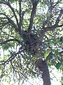 Racoon (Procyon lotor) on the Tree 3.jpg