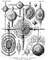 Radiolaria (Challenger) Plate 015.jpg