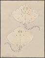 Raja clavata - 1700-1880 - Print - Iconographia Zoologica - Special Collections University of Amsterdam - UBA01 IZ14200051.tif