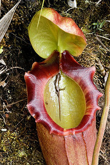 Asian pitcher plant life cycle