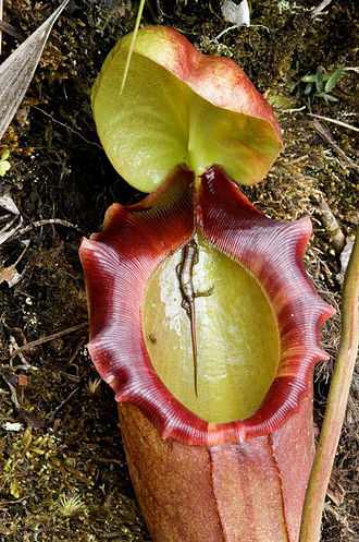 Nepenthes - A drowned lizard found in a freshly opened pitcher of N. rajah