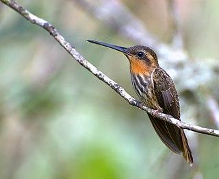 Saw-billed hermit Species of bird
