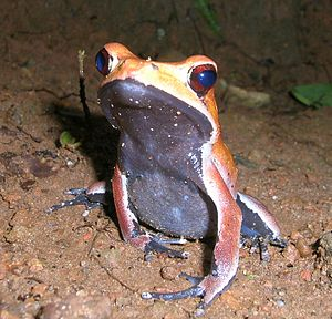 Bicolored frog - Image: Rana Curtipes 1