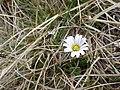 Ranuncolo di Kerner (Callianthemum kernerianum Freyn ex A. Kern) 2.jpg