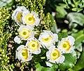 Ranunculus lyallii in Fiordland National Park 08.jpg