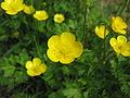 Ranunculus repens flower1 ST (16075785345).jpg