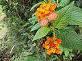 Rata Higura Flower.jpg