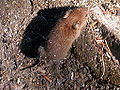 Red-backed vole.jpg
