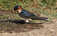 Red-rumped Swallow (Hirundo daurica) collecting mud for nest W IMG 7962