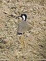 Red-wattled Lapwing (Vanellus indicus) (15274417703).jpg