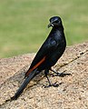 Red-winged Starling 2014 02 23 6113.jpg