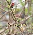 Red Avadavat (Amandava amandava) W IMG 0441.jpg