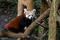 Red Panda (37500375351).jpg