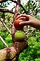 Red and Green Apel Malang 1.jpg