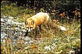 Red fox with light snow on ground at Isle Royale National Park, Michigan (ace45ec6-32c0-4c9c-8718-64e164da5c02).jpg