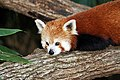 Red panda national zoo.jpg