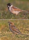 Reed Bunting male and female