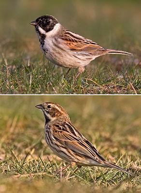 Rohrammer (Emberiza schoeniclus), Männchen (oben) und Weibchen (unten)